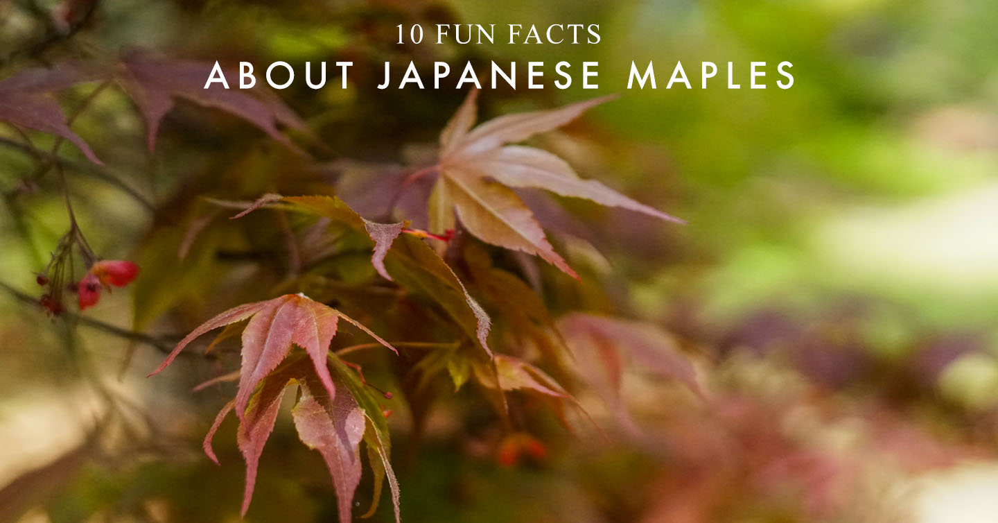10 Fun Facts About Japanese Maples