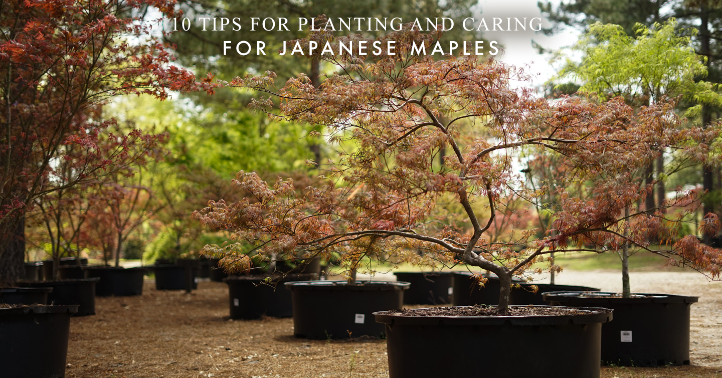 10 Tips for Planting and Caring for Japanese Maples